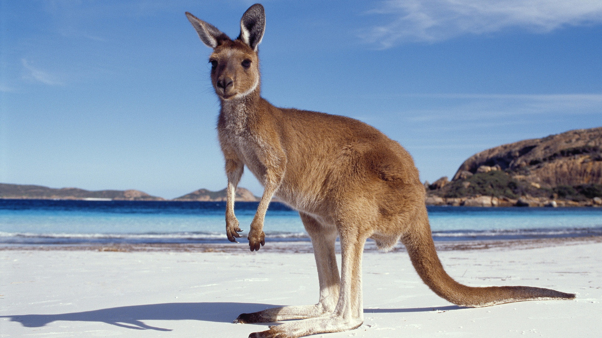 on-beach-kangaroo-hd-wallpapers-free-download-new-desktop-background-images-of-animals-widescreen